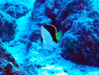 tinker's butterflyfish (チィンカーズチョウチョウウオ)