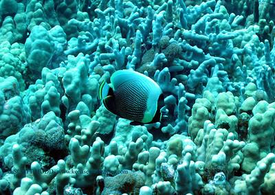 reticulated butterfly fish (ハクテンカタギ)
