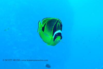 raccoon butterflyfish (チョウハンチョウチョウウオ)