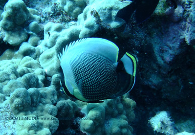 reticulated butterfly fish (ハクテンカタギ )