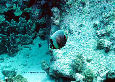reticulated butterflyfish (ハクテンカタギ)