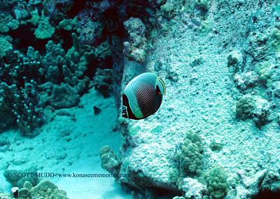 reticulated butterflyfish (ハクテンカタギ)