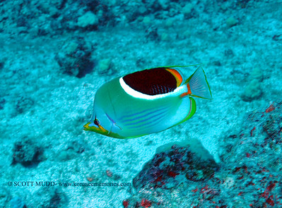 saddleback butterflyfish (セグロチョウチョウウオ)