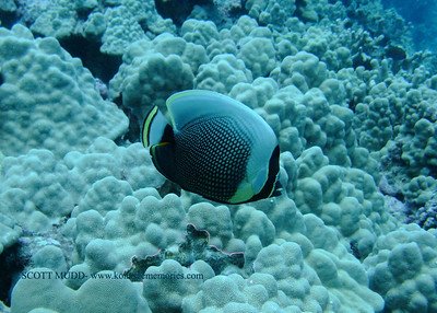 reticulated butterfly fish (ハクテンカタギ)