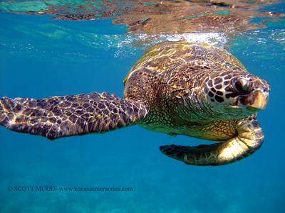 green sea turtle (アオウミガメ)