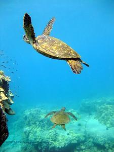 green sea turtles (アオウミガメ達)