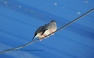 java birds (文鳥)