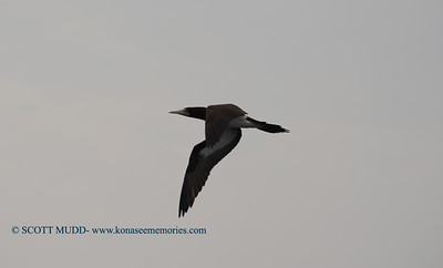 brown booby (カツオドリ)