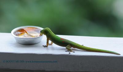 gecko (ゲッコ)