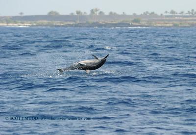 ハシナガイルカ (spinner dolphin)
