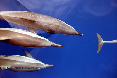 dolphins (イルカ)