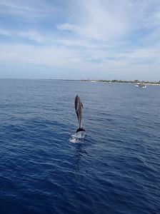 バンドイルカ (bottlenose dolphin)