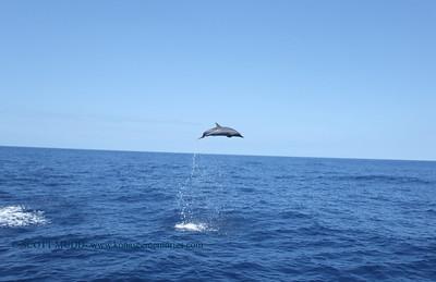 マダライルカ (spotted dolphin)
