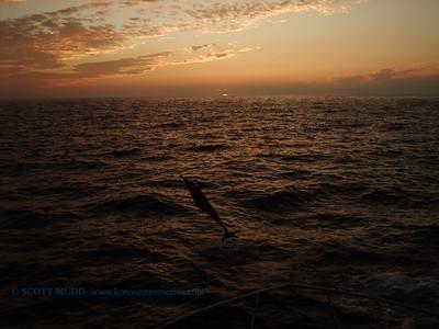 ハシナがイルカ (spinner dolphins)