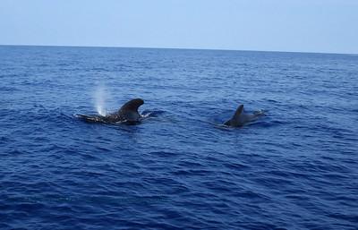 コビレゴンド (pilot whales)