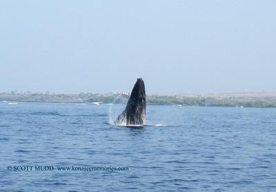 ザトクジラ (humpback whale)