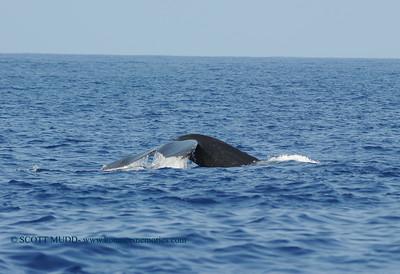 ザトクジラのしっぽ (humpback whale tail)
