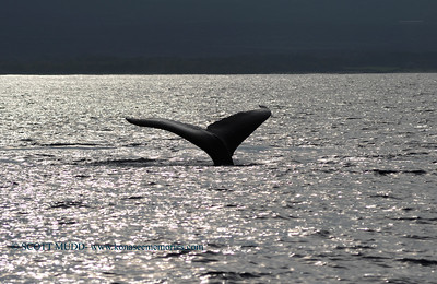humpback whale (ザトクジラ)