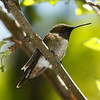 A male Ruby-throated Hummingbird, found on Florida Mountain.  Florida, 5/16/10 - Ian Grey