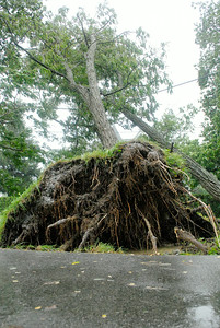 A tree is uprooted on Clement street, near Clinton Street, as it leans on power lines during the morning hours as Tropical Storm Irene hits Saratoga Springs Sunday morning. Photo Erica Miller 8/28/11 TropicalStorm5