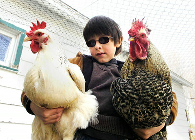 Seven year old Elihu Conant-Haque with two of his chickens from his Greenfield flock. Ed Burke 3/30/11