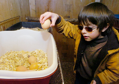 Seven year old Elihu Conant-Haque  collects eggs from that his hens have laid.  Ed Burke 3/30/11