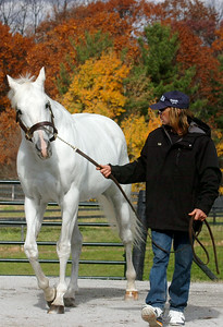 Nineteen year old Alphabet Soup; sired 39 stakes winners, the earners of $32.2 Million and winner of the 1996 Breeders' Cup Classic, walked by Rob Lynn where he will enter stud at the McMahon of Saratoga Thoroughbred in Schuylerville. Photo Erica Miller 10/31/10 spt_McMahon2_Mon