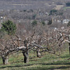 with Meghan story<br /> Gillian Jones/North Adams Transcript<br /> Whether the cold snap Monday night, after a week of summer-like temperatures the week before, will impact area apple tree growers will not be known immediately.
