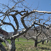 with Meghan story<br /> Gillian Jones/North Adams Transcript<br /> Whether the cold snap Monday night, after a week of summer-like temperatures the week before, will impact area growers will not be known immediately.