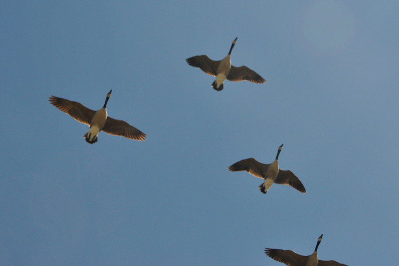 Gillian Jones/North Adams Transcript<br /> Canada geese fly overhead at the Cheshire Reservoir at Farnams Road on Friday.