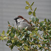 Gillian Jones/North Adams Transcript<br /> This chestnut backed chickadee perches in a bush in the yard of a North Adams resident on Wednesday.