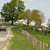 Gillian Jones/North Adams Transcript<br /> Cows, from Hoellerich's Ayrhill Farm, were out to pasture to feed on the green grass in a field along Henry Wood Road in Cheshire, Monday.