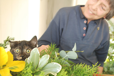 Humane Society volunteer Taffy Montgomery gets a visit from one of the shelter's kittens  making Thursday November 29, 2007 in Ukiah, Calif. (MacLeod Pappidas/The Ukiah Daily Journal). Montgomery and her three sisters are making holiday wreaths to sell for the benefit of the shelter.