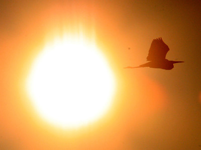 Shaun Walker/The Times-Standard  A great egret flies in between the setting sun and the Arcata Marsh and Wildlife Refuge on Tuesday evening.