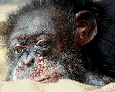 Image by Bill the Chimp's  veterinarian Jeff Kelley-Day, D.V.M.