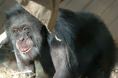 Times-Standard File Photo  Bill the Chimp, Sequoia Park Zoo's most well-known resident.