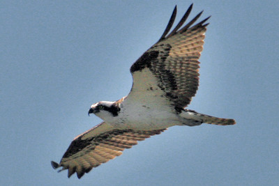 Josh Jackson/The Times-Standard  An osprey flies over Samoa on Saturday. The diurnal birds of prey, known by their Latin name as Pandion haliaetus, can sometimes boast a wingspan of nearly six feet. Feeding primarily on fish, some estimates put their global population at approaching 500,000.