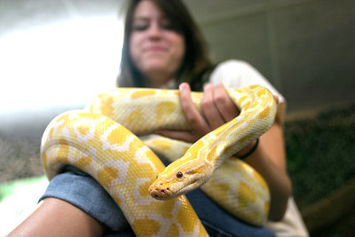 Josh Jackson/The Times-Standard  Animal Manager Meg Jacobsen, of Brad's World Reptiles, of Corvallis, Oregon, shows off Jellybean, an albino Burmese python at the Redwood Acres Fair and Rodeo on Saturday.