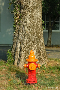 Big brother tree is watching over the hydrant.
