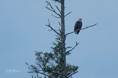 eagle-0934