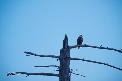 eagle-1040