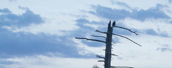 eagle-1036