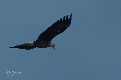eagle-0978