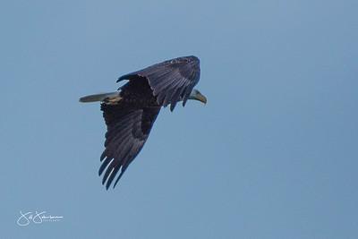eagle-0976