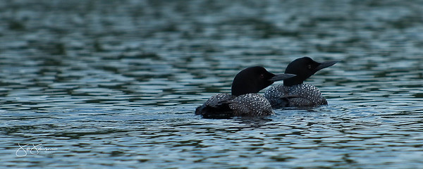 loons-0753