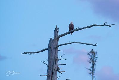eagle-1074