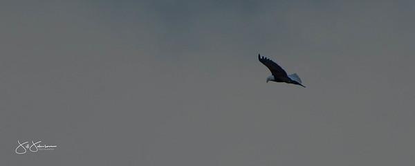 eagle-0990