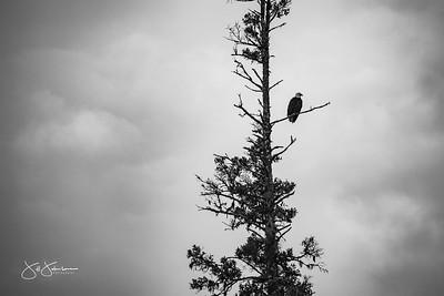 eagle-0933
