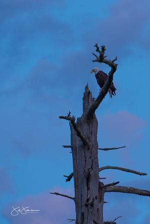 eagle-1095