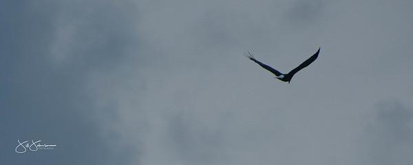 eagle-0984
